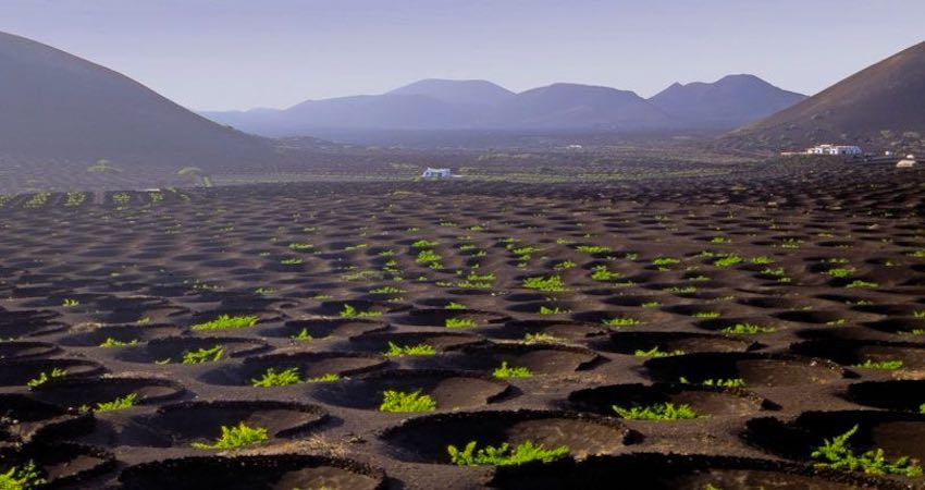 Grape vines growing in Le Geria Lanzarote